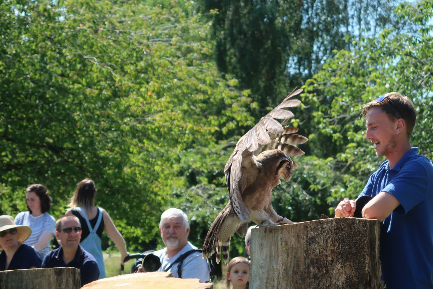 The eagle owl lands on a log in front of a keeper, with wings outstretched as part of the Amazing African Animals display at Africa Alive.