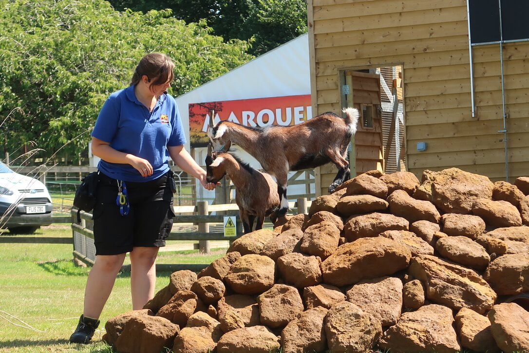 African pygmy goats stand on a pile of rocks and take food from a keeper at Africa Alive.