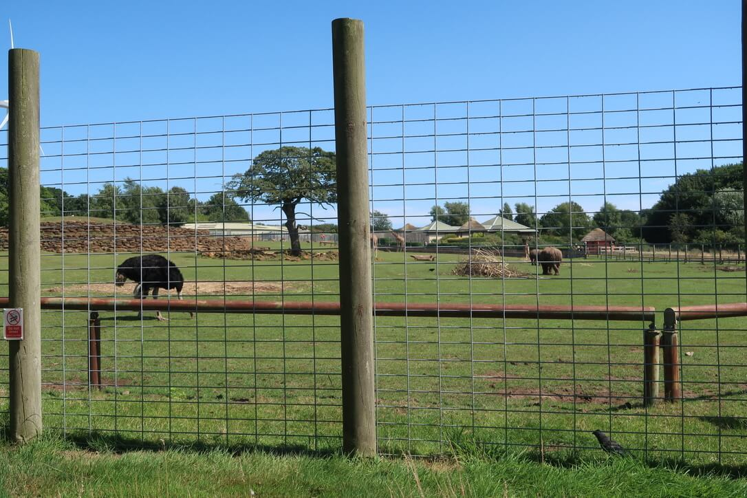 A view of the savannah at Africa alive. A wide open green space with a ostrich in the foreground and rhino in the background.