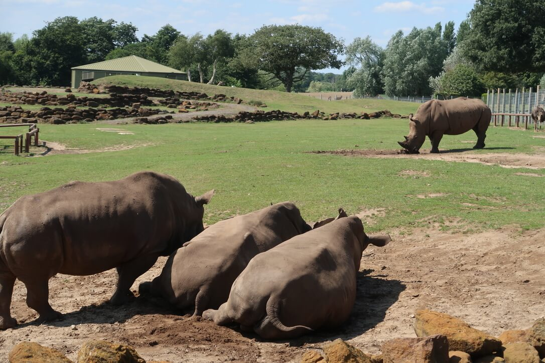 Three rhinos lie on their sides, leaning against one another in the foreground, while another sniffs the mud in the background.