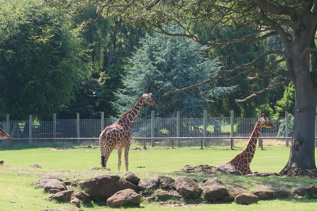 Two giraffes relax by a tree on the savannah at Africa Alive.